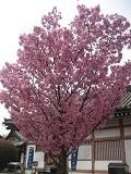 陽光桜 小.jpg